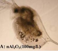 Nahaufnahme eines Wasserflohs, bei dem im Inneren des Körpers aufgenommene Aluminiumoxid Nanopartikel sichtbar sind