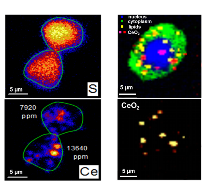 Label-free imaging of the distribution of CeO2 nanoparticles in lung cancer cells by means of element (left) and molecule based (right) imaging techniques. Raman microscopy allows identifying the NM co-localization and interaction with cell compartments and biomolecules at sub-micron level. The cellular concentration of NM can be quantified with Ion beam microscopy. © I. Estrela-Lopis & C. Merker / University Leipzig.