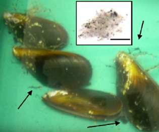 The common mussel in water containing carbon black. The filter feeders try to get rid of the particles by excreting mucus (arrows). © Canesi et al., 2010.