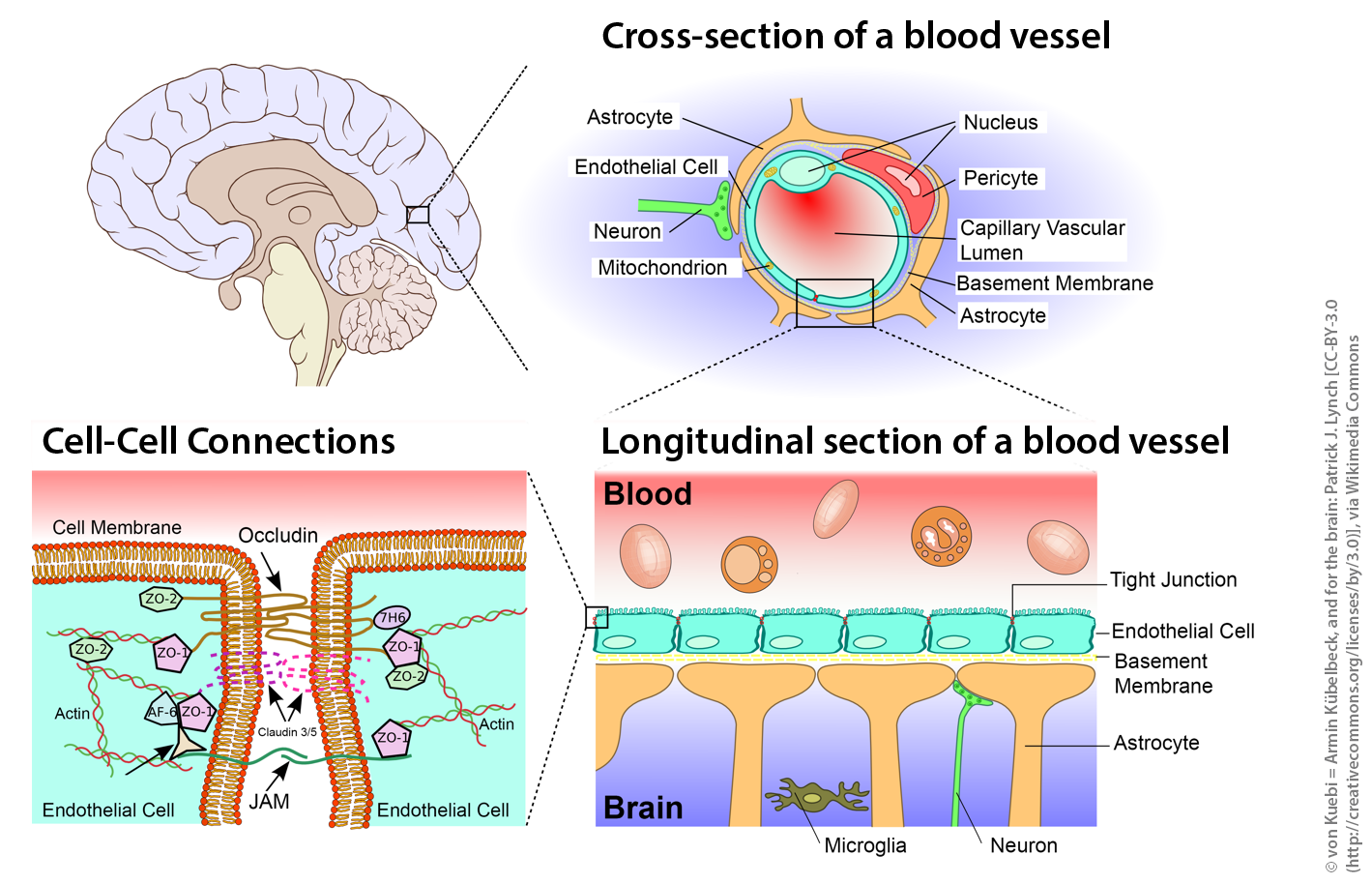 Schematic sketch showing the blood-brain barrier. From the brain down to the tight junctions. © von Kuebi = Armin Kübelbeck, and for the brain: Patrick J. Lynch [CC-BY-3.0 (http://creativecommons.org/licenses/by/3.0)], via Wikimedia Commons