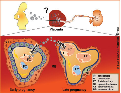 Scheme of the placental barrier in early and late pregnancy ©Tina Buerki-Thurnherr, Empa