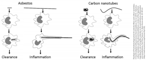 Paradigm of frustrated phagocytosis for asbestos fibres and carbon nanotubes.