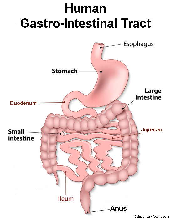Overview human gastro-intestinal tract. adapted with permission from © designua / fotolia.com