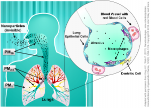 Possible transport pathway for particles differing in size in the lung.