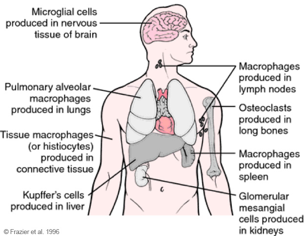 Overview of the reticuloendothelial system (RHS). (c) Frazier et al., 1996.
