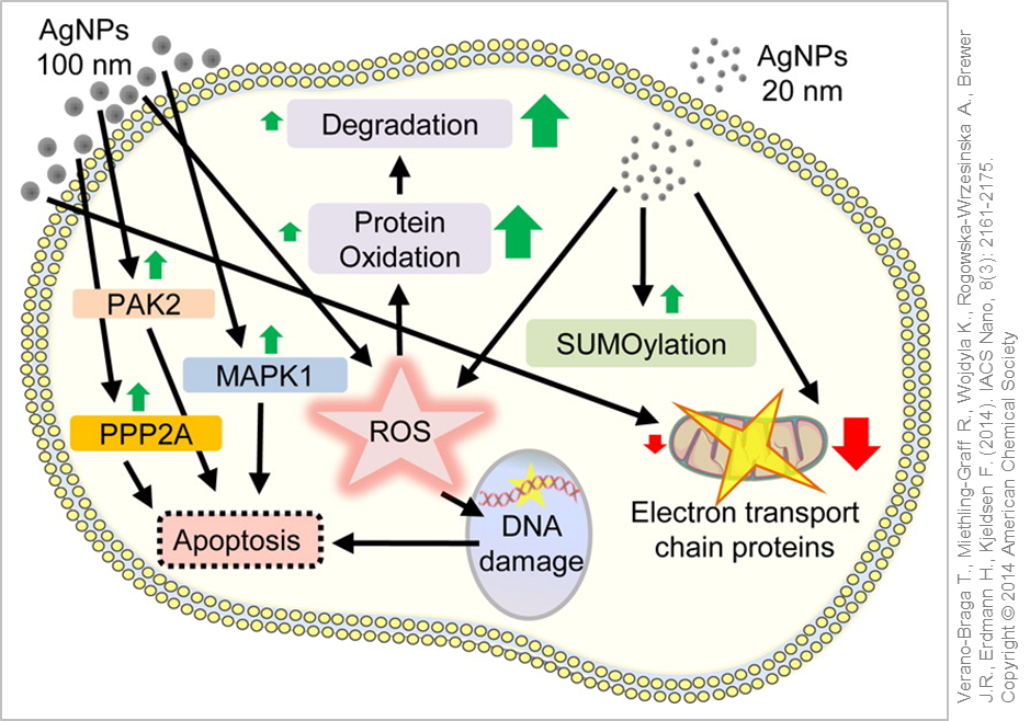 Cellular reaction and response to silver nanoparticle exposure. © Verano-Braga, T et al. (2014)